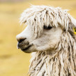 Peruvian alpaca in natural background. — Stock Photo #26884751