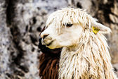 Peruvian alpaca in natural background. — Stock Photo