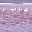 Flamingos on lake in Andes, the southern part of Bolivia — ストック写真