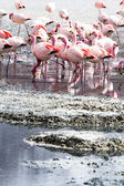 Flamingos on lake in Andes, the southern part of Bolivia — Stock Photo