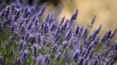 Beautiful detail of a lavender field. — Stock Video