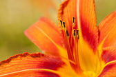 Macro of orange and yellow lily of the Incas (Alstroemeria) in a bouquet of flowers. — Stock Photo
