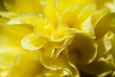 Beautiful yellow flower closeup — Stock Photo
