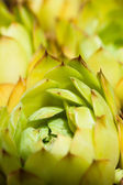 Closeup shot of green succulent plant agave — Stock Photo