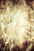 Closeup of ripe wheat — Stock Photo