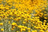 Alan çiçek, düğün çiçeği. sarı çiçek, bahar arka plan — Stok fotoğraf