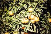 Branch orange tree fruits green leaves in Valencia Spain — Stock Photo