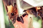 Frukt bat även känd som flying fox äter — Stockfoto