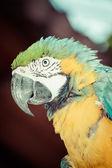 Сине-желтая ара — Стоковое фото