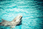 A dolphin in a swimming pool — ストック写真