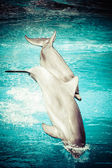 En delfin i en pool — Stockfoto
