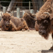 Stock Photo: AmericBison in sunny day