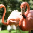 Pink flamingos against blurred background — Stock Photo #28791927