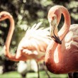 Pink flamingos against blurred background — Stock Photo