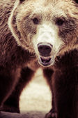 Brown bear in a funny pose — Stock Photo