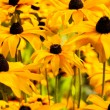 Bright yellow rudbeckia or Black Eyed Susan flowers in the garden — Stock Photo