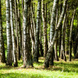 Stock Photo: Beautiful birch trees in a summer forest