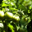 Green Tomatoes in a garden — Stock Photo