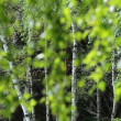 Stock Video: Beautiful birch trees in summer forest