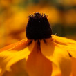 Stock Video: Bright yellow rudbeckiflowers in garden
