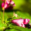 Stock Photo: Honeybee pollinated of flower