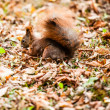 Squirrel, Autumn, acorn and dry leaves — Stock Photo #34534797