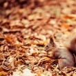 Squirrel, Autumn, acorn and dry leaves — Stock Photo #34534869