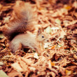 Squirrel, Autumn, acorn and dry leaves — Stock Photo #34534917