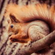 Squirrel, Autumn, acorn and dry leaves — Stock fotografie