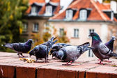 Traditional architecture in Warsaw and pigeon, Poland — Stock Photo