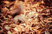 Squirrel, Autumn, acorn and dry leaves — Foto de Stock
