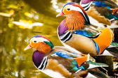 Closeup male mandarin duck (Aix galericulata) — Stock Photo
