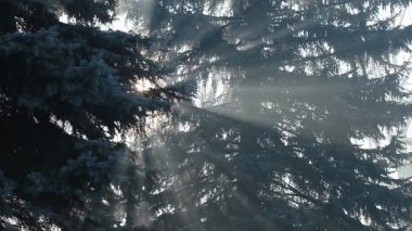 Beautiful sunbeams in pine forest, Poland. — Stock Video