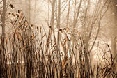 Cane and Morning Sunlight , Poland. — Stock Photo