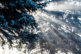Beautiful sunbeams in pine forest, Poland. — Stock Photo