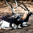 IndiBlack Buck Antelope — Stock Photo #38249819