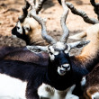 IndiBlack Buck Antelope — Stock Photo #38249847
