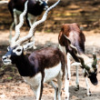 IndiBlack Buck Antelope — Stock Photo #38249849