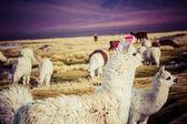 Lama on the Laguna Colorada, Bolivia — Stock Photo