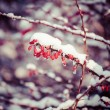 Red berries covered with snow at winter — Stock Photo