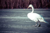 Mute Swan walking in the natural winter environment. — Stock Photo