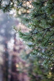 Water drops on pine needles over blurred background. — 图库照片