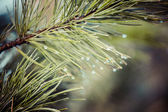 Water drops on pine needles over blurred background. — Stock Photo