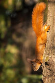 Red squirrel sitting on the tree — Stock Photo