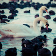 White swans on a lake, around many coots. — Stock Photo