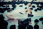White swans on a lake, around many coots. — Photo