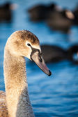 Portrait of a young swan (Cygnus olor), Poland,Pogoria lake. Winter time. — Stock Photo