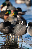 Flock of coots ( fulica atra ) walking on frozen surface of the lake. — Stock Photo