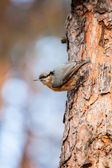 Red-breasted Nuthatch (Sitta canadensis) is a small songbird. — Stock Photo