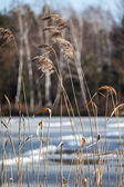 Dry grass in winter time, Poland. — Stockfoto